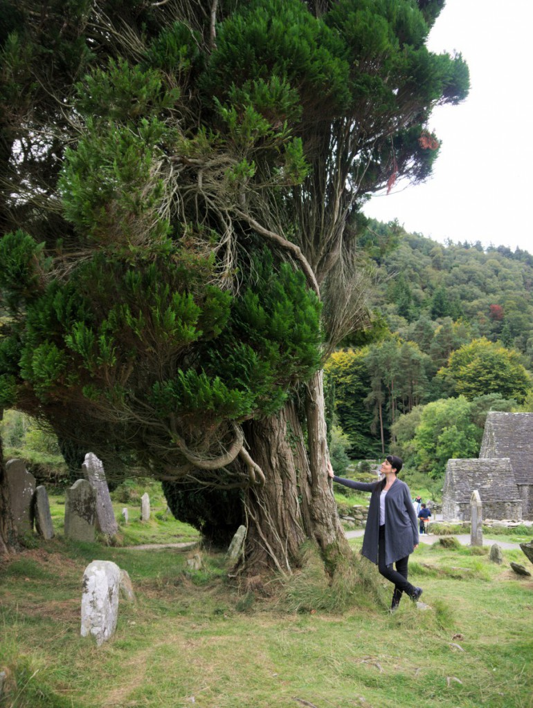 Ancient yewtree | Glendalough, Ireland