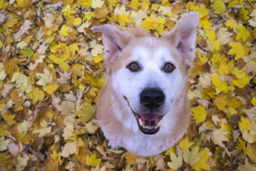 Akita mix and yellow leaves | Caliope Couture