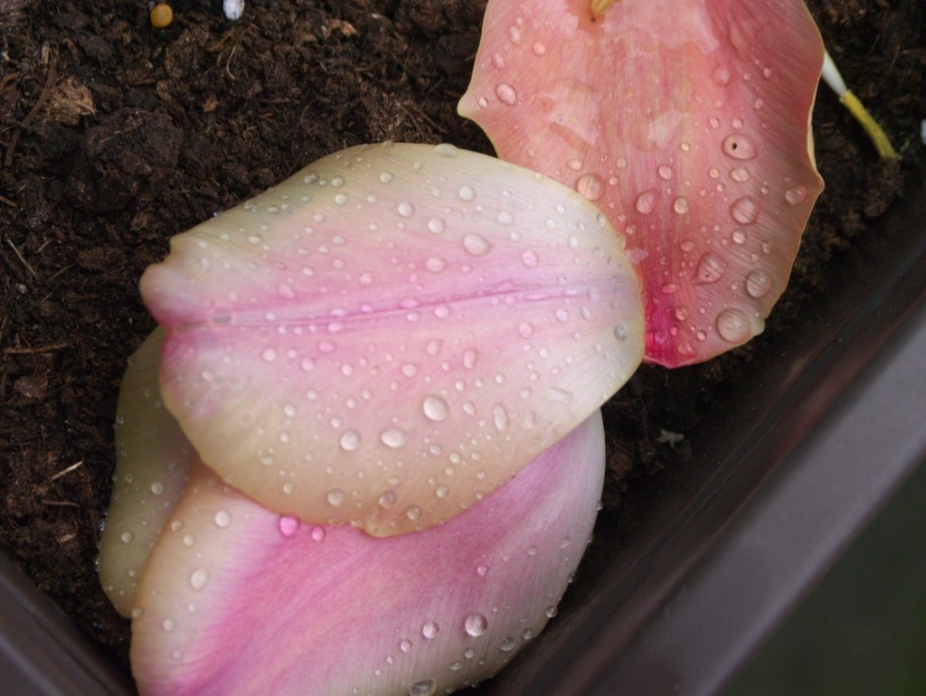 raindrops on pastel pink tulip petals