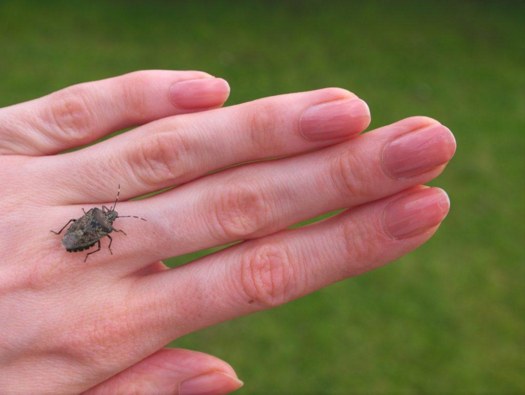 shieldbug Acanthosomatidae