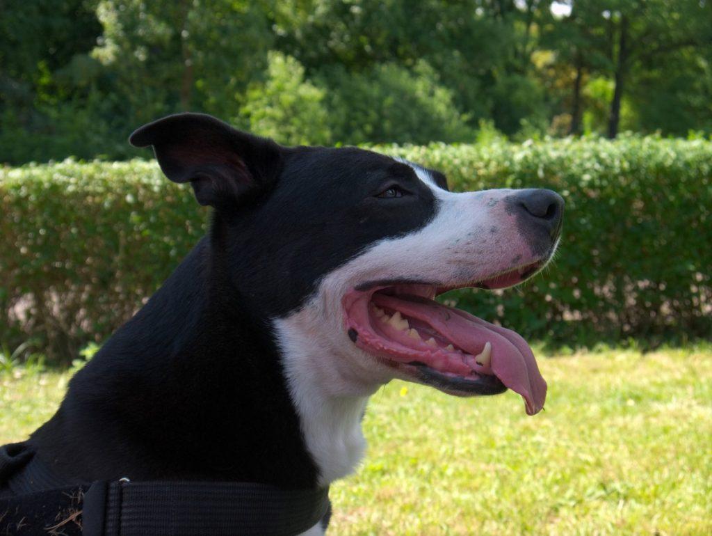 pitbull mix staffordshire black and white