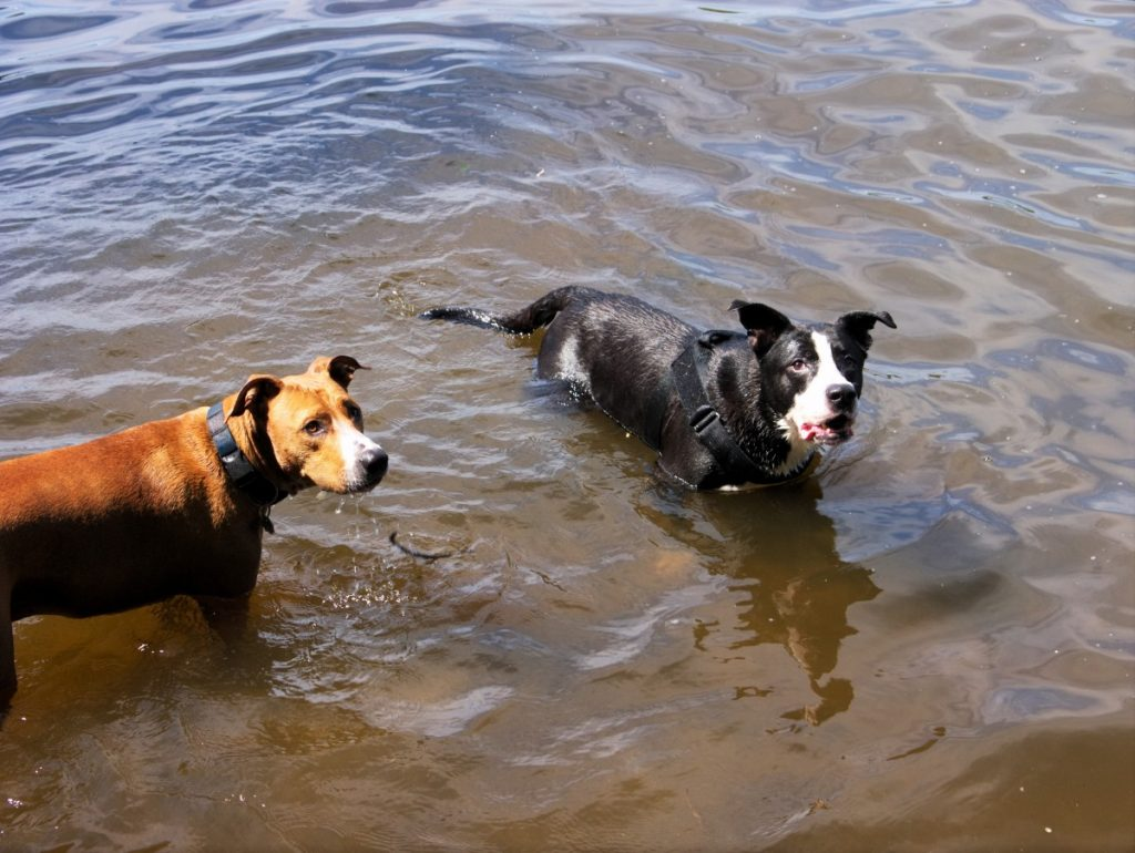 dogs swimming at Treptower Park