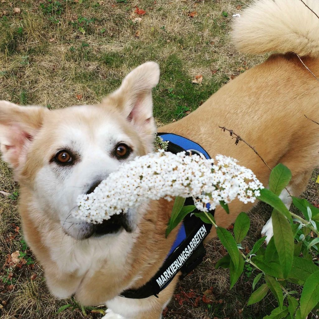 Akita smelling the flowers