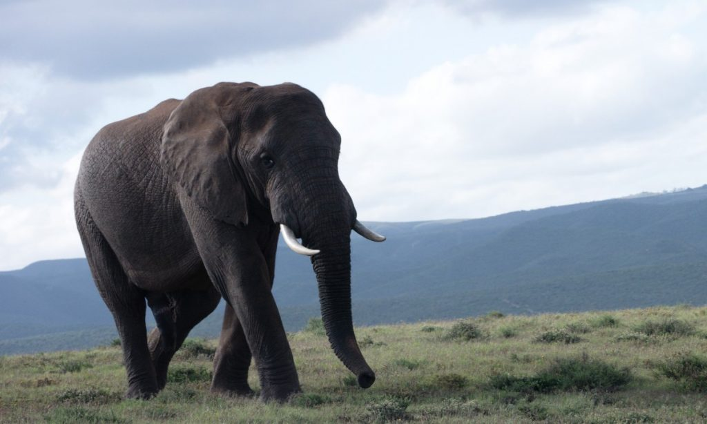 male african elephant in Addo Elephant National Park