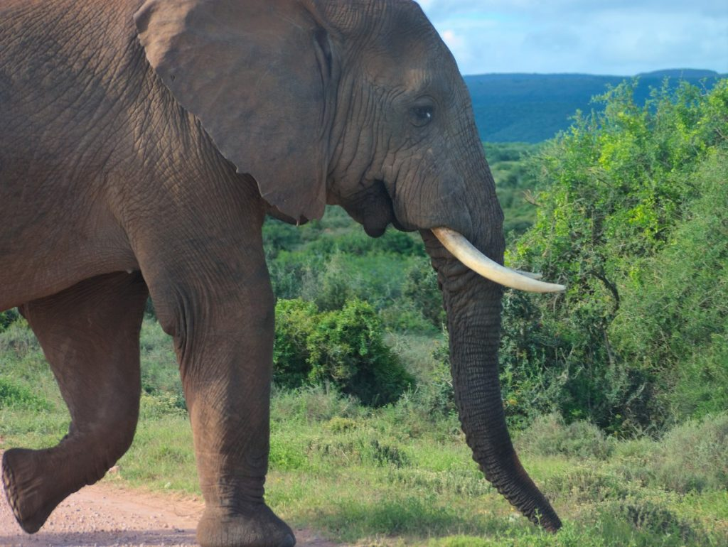 large male African elephant in Addo Elephant National Park with tusks