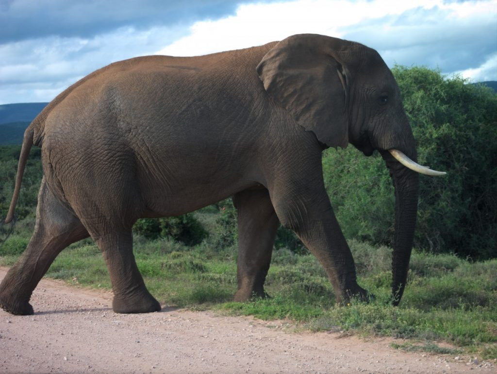 large male African elephant in Addo Elephant National Park