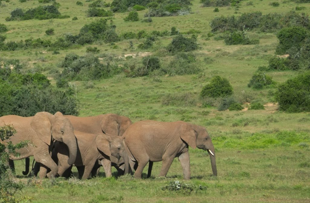 african elephant in Addo Elephant National Park