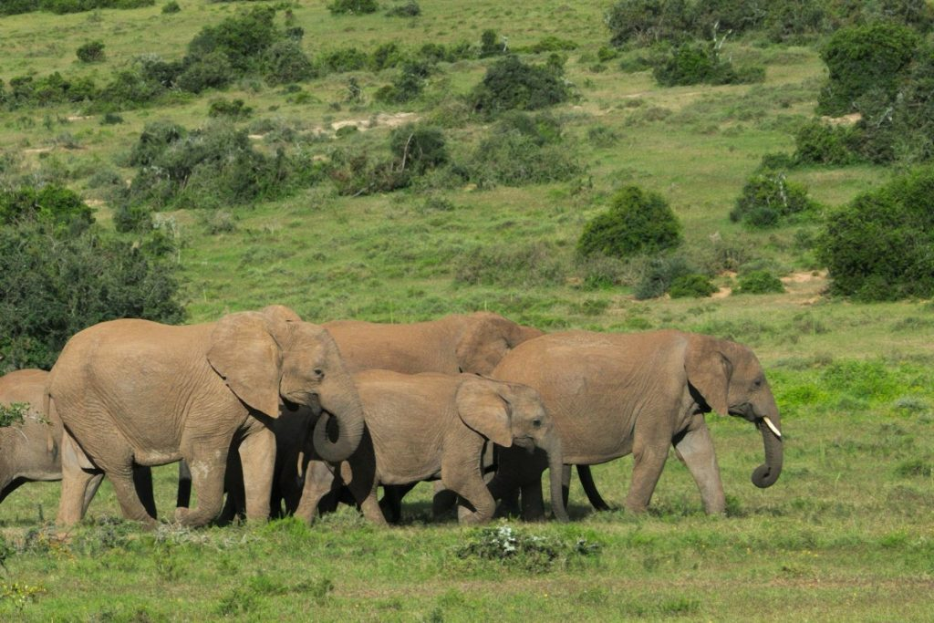 mothers and calves african elephant in Addo Elephant National Park