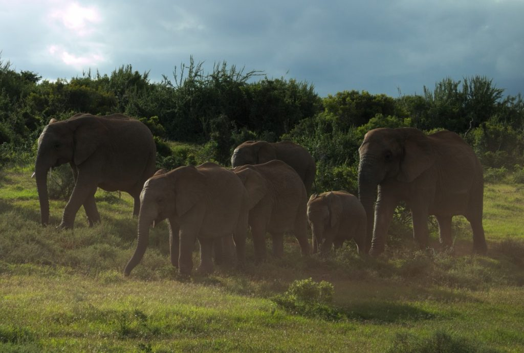 African elephant in Addo Elephant National Park in the evening light
