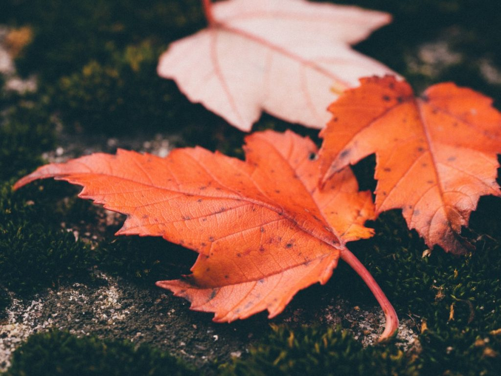 fall leaves maple