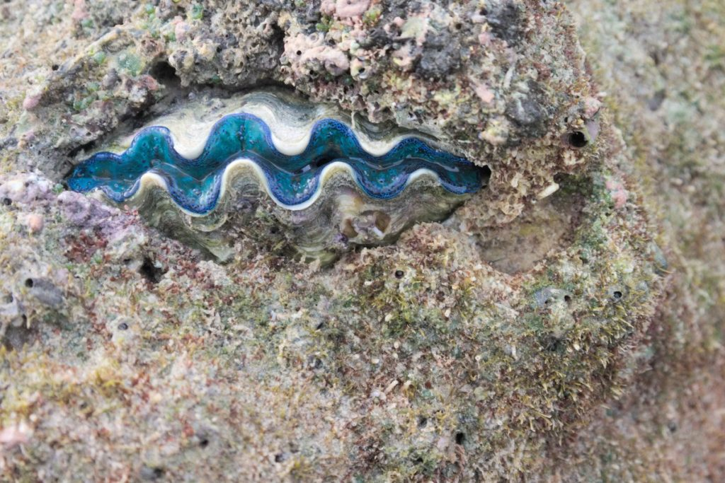 small giant clam in South China Sea (Tridacna maxima)