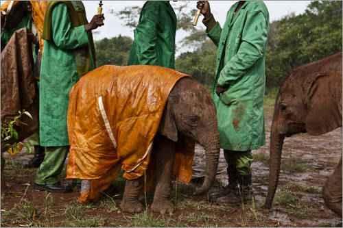 poster-elefantenkaelber-in-regenmaenteln-zum-schutz-mit-pfleger-im-hintergrund-303497