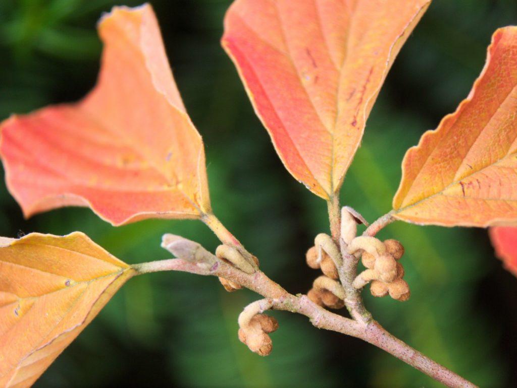 fall leaves Hamamelis