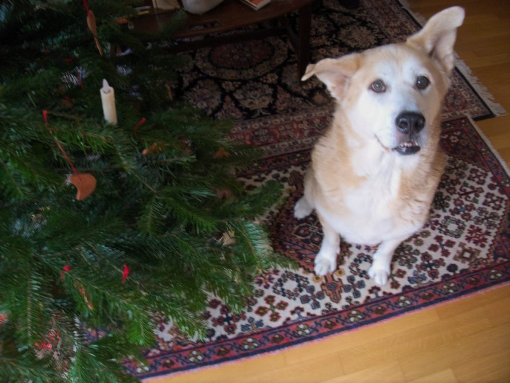 akita under christmas tree