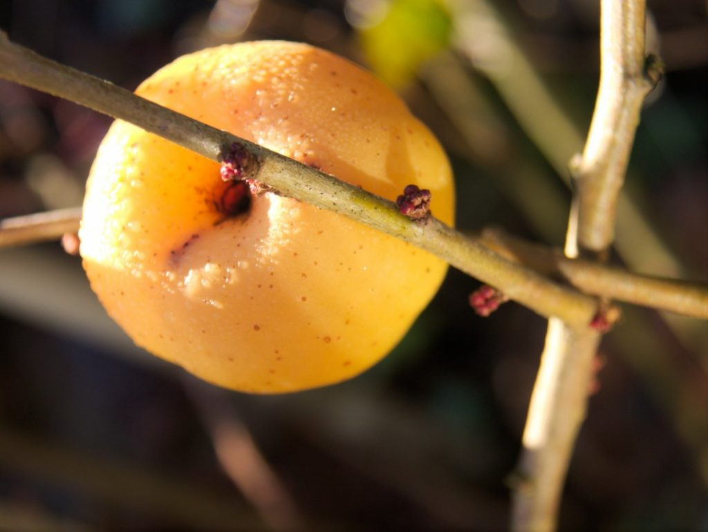 quince in winter