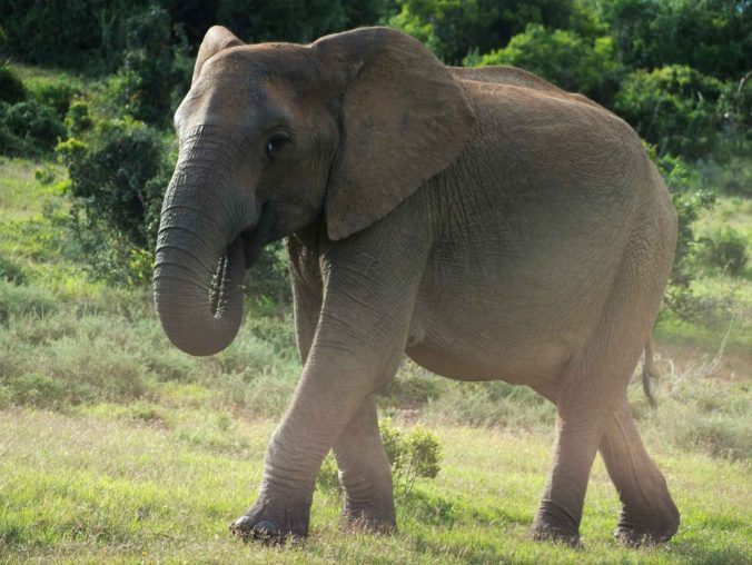 African elephant in Addo National Park at golden hour